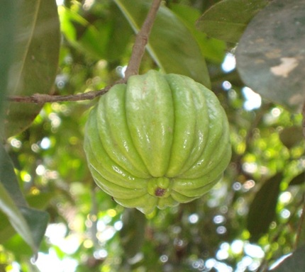 Garcinia Cambogia on the tree