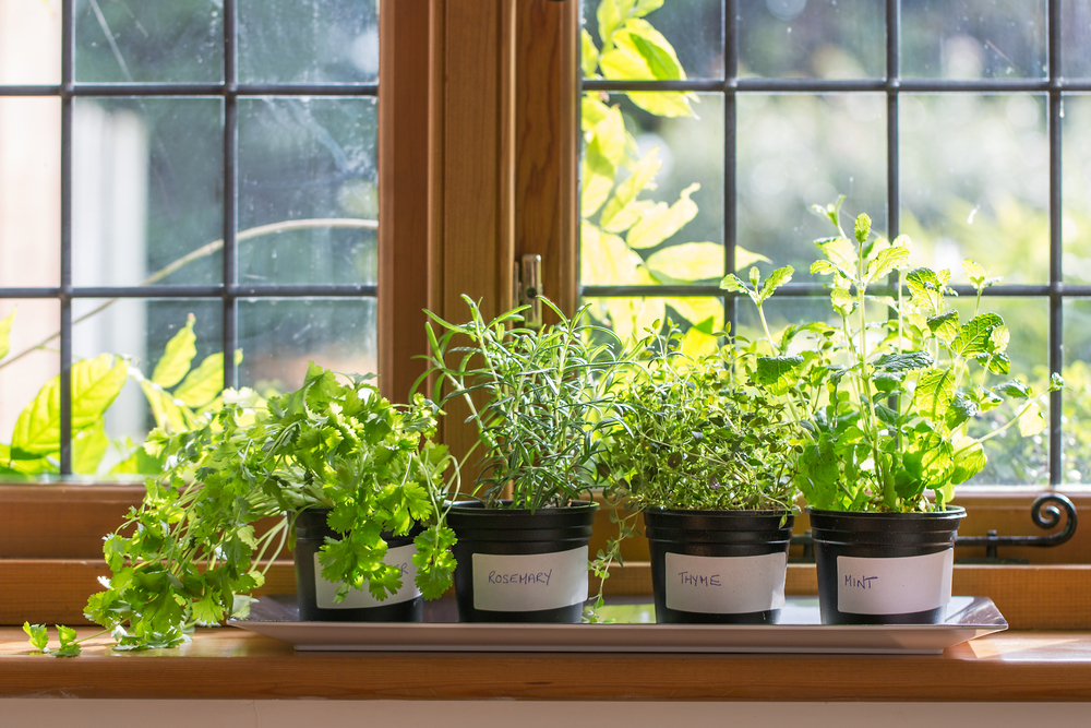 Indoor herb garden in front of a window