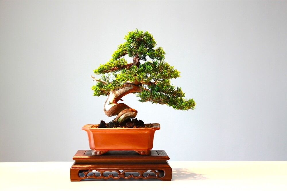potted bonsai